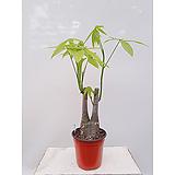 파키라(포트) 나-55 실내화초 실내관엽식물 키우기좋은식물|