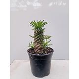 괴마옥 파인애플선인장 포트 다육 야자수느낌|Euphorbia hypogaea