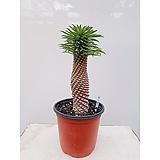 괴마옥 파인애플선인장 포트 다육식물 가-111|Euphorbia hypogaea