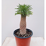 괴마옥 파인애플선인장 포트|Euphorbia hypogaea