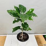 커피나무 (외목수형)|