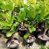 떡갈고무나무-외목예쁜수형미세먼지탁월|Ficus elastica