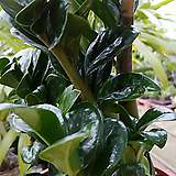 신종금전수 보석 -보호품종최고급 대만산|Zamioculcas zamiifolia
