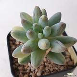 베이비핑거금|Pachyphytum Machucae (baby finger)