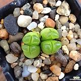 C.퓨베센스|Crassula pubescens