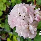 럴러비(제라늄)|Geranium/Pelargonium