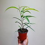 휘커스알리수입고무나무수입식물 305010950|Ficus elastica