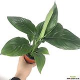 센세이션 / 스파트필름 / 스파트 / 공기정화식물 / 한빛농원 /조직배양묘|