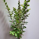 목백일홍 야생화 공기정화식물  507012960|