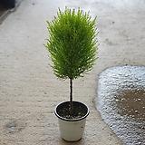 핫도그율마외목대허브공기정화식물507012970|