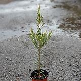 티트리나무허브 30~50cm|
