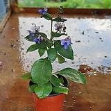 나비수국 소품 월동가능20~30cm|Hydrangea macrophylla