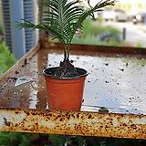 소철 소품 공기정화식물 25~30cm|