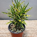 실크크로톤( 소품)  물감을 뿌린듯해요|Codiaeum Variegatum Blume Var Hookerianum