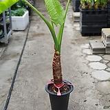 알로카시아대품 잎의상처있음 잎은1~3개 100~130cm|Alocasia