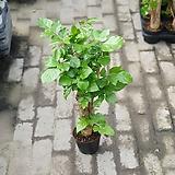 미남형녹보수공기정화식물해피트리관엽식물 60~80cm|happy tree