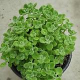 장미허브중품허브공기정화식물 20~25cm|