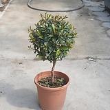 피어리스야생화월동가능공기정화식물 50~70cm|