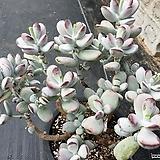 방울복랑금 무지 78|Cotyledon orbiculata cv variegated