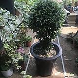 피어리스(대)공기정화식물키약50-60|