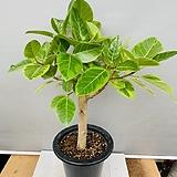 뱅갈고무나무 ( 동일품배송)|Ficus elastica