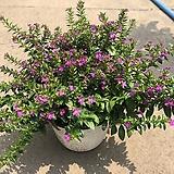 구피아 9번 꽃이 피고지는 구피아 :)|
