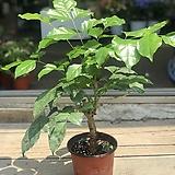 녹보수 공기정화식물|happy tree