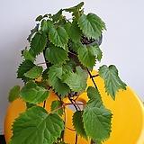 제주등수국|Hydrangea macrophylla