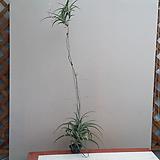 틸란.플렉수오사 비비파라.인테리어효과. 공중식물(랜덤발송)|