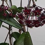 호야.카노사(진한쵸코색).꽃색깔예뻐요.향기좋은향.인테리어효과.공기정화식물.|Hoya carnosa