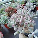 원종방울복랑282|Cotyledon orbiculata cv