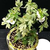 드레게이글래스크(화분포함)베고니아|Begonia