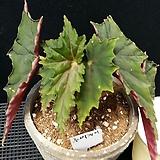 루비게이(화분포함)베고니아|Begonia