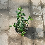 올리브나무 소품 생장점있음 공기정화식물 25~35cm|