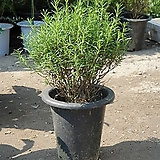 로즈마리중대품허브 45~60cm|Rosemary