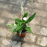 스파트필름소엽 소품 공기정화식물 10~20cm|