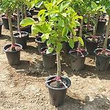 뱅갈고무나무 대품 관엽식물 110~140cm