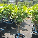 뱅갈고무나무 공기정화식물 중대품 80~110cm|Ficus elastica