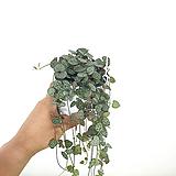 러브체인 / 행잉플랜트 / 공기정화식물 / 한빛농원|