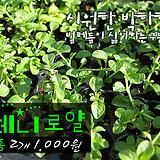 모기 등 벌레퇴치 페니로얄(페니로열 pennyroyal) 허브모종 2개(1000원) 서울육묘생산 정품모종(단일품목 구매시 5천원 이상 배송가능)|Hub