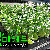 장미허브(Vicks Plant 공기정화/천연가습) 모종 2개(1000원) 서울육묘생산 정품모종(단일품목 구매시 5천원 이상 배송가능)|Hub