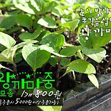 왕까마중(보라농/폐기능개선/비염에효과)  허브모종 800원 (5000원이상 배송가능)|Hub