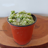 거미줄 바위솔1포트(9cm)|Sempervivum arachnoideum tomentosum