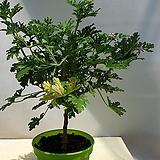외목대 구문초|Pelargonium capitatum