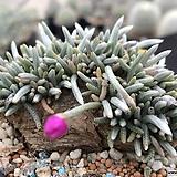 알스토니524 Avonia quinaria ssp Alstonii