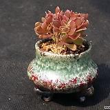 귀여운캐시미어(분채배송)|Aeonium Velour