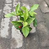 천냥금미니공기정화식물 05~10cm|