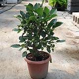 애기사과나무 분재 과실수 40~60 cm|
