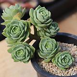 그린로즈 06-279|Sedeveria Green Rose