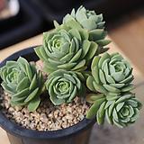 그린로즈 06-280|Sedeveria Green Rose